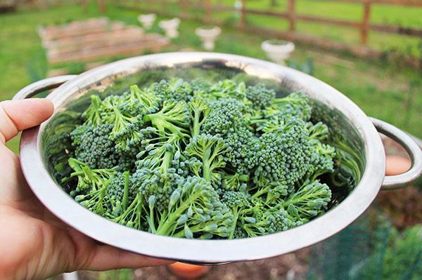 garden-broccoli-harvest